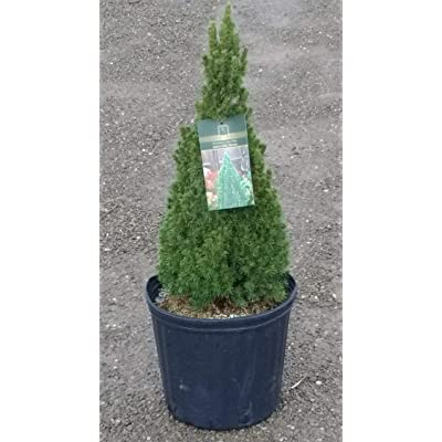 'Jean's Dilly' Dwarf Alberta Spruce - 3 Gallon Pot | Miniature, Landscape-Ready Evergreen Tree : Garden & Outdoor
