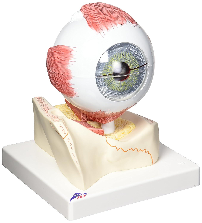 視覚器(眼球),5倍大7分解ジャイアントモデル,眼窩床付   B007NCV2AU