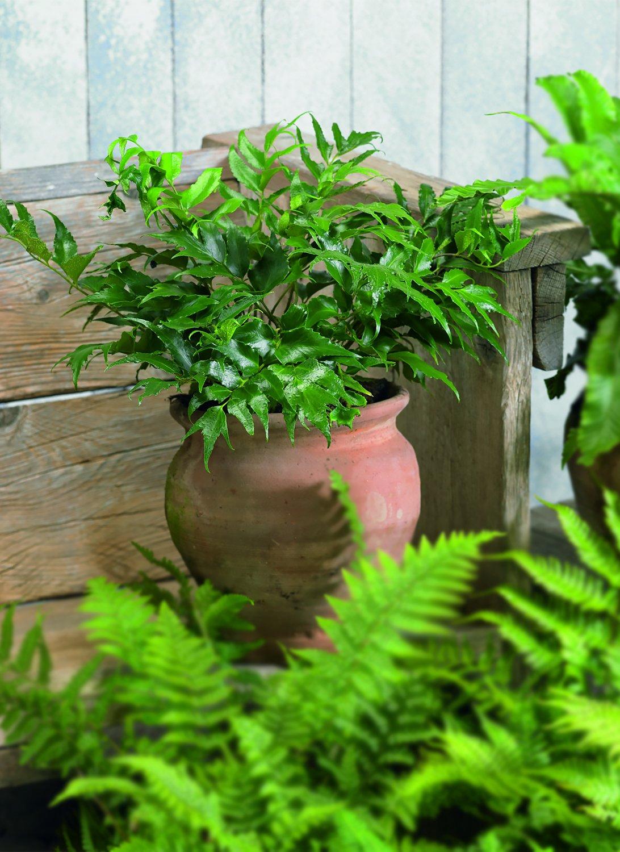 Amazon.com: amplex Holly helecho 1 galón las plantas vivas ...