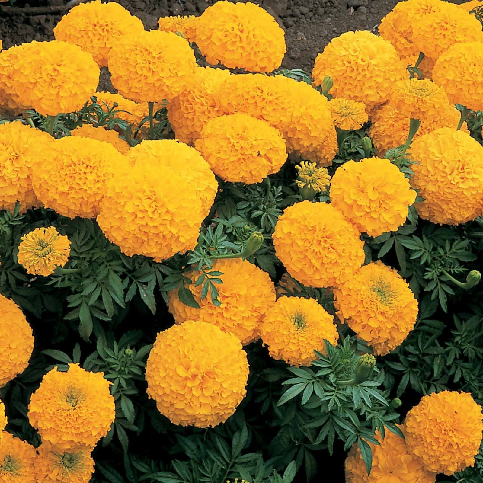 Amazon price history for African Marigold Double Orange Flower Seeds with Free 3 Piece Agropeat Soil for Good Seeds Germination by Kraft Seeds