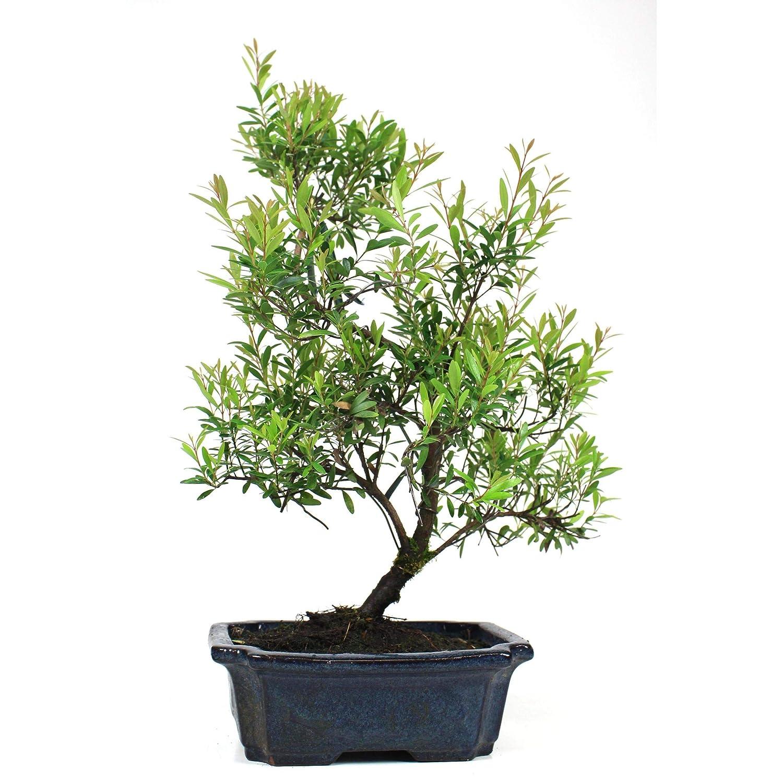 Bons/ái Syzigium buxifolium Buxu 10 a/ños