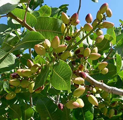 Pistazienbaum
