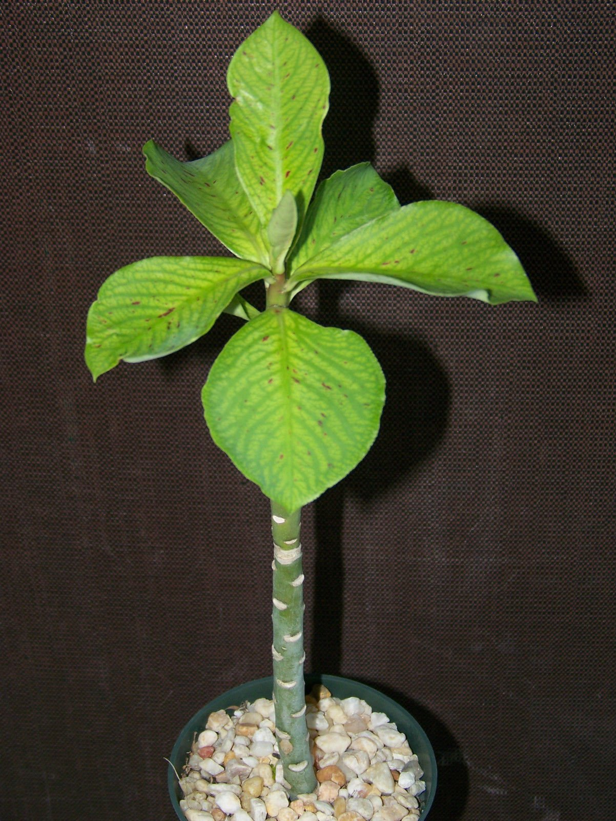 Synadenium grantii, African milkbush exotic cacti rare succulent plant 4'' pot