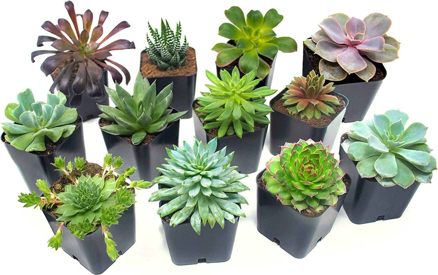 Succulent Plants (12 Pack) Fully Rooted in Succulent Planter Pots with Succulent Soil | Real Live Potted Succulents | Indoor Plants | Unique Live Plants | Cactus Decor Succulent Pots by Aquatic Arts 81RXVSrdsSL
