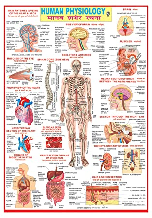 IBD Educational Pre-School Double Side Laminated Human Physiology ...