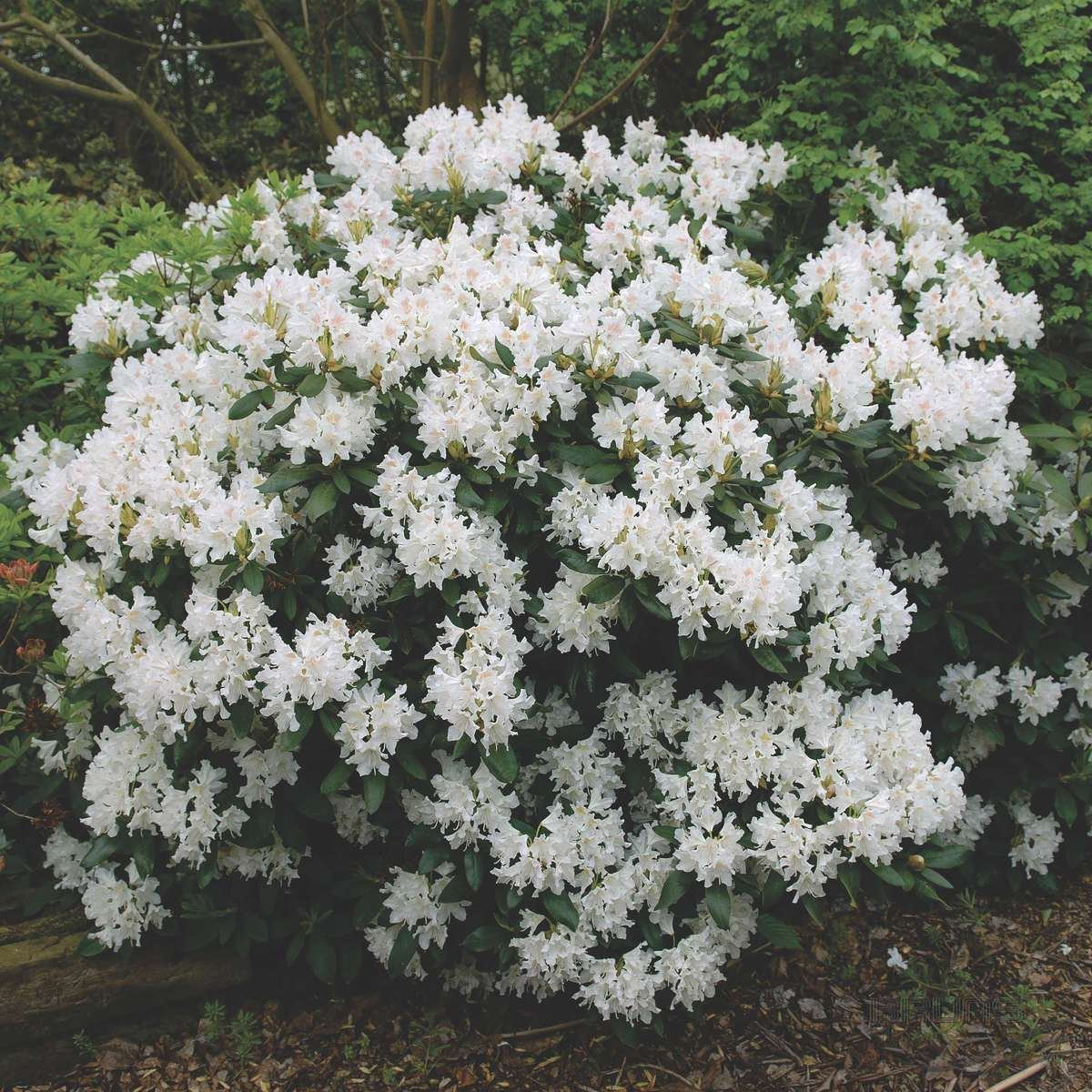 game rhododendron a bush buy