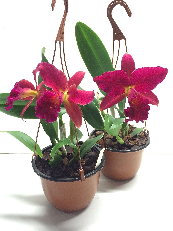 Slc traumhafte Orchidee vom deutschen Z/üchter Mea Hawkins Miya 1 bl/ühf/ähige Orchidee der Sorte