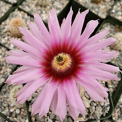 Echinocereus Fitchii Cactus Cacti Succulent Real Live Plant : Garden & Outdoor