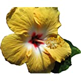 YELLOW WING Heirloom Tropical Landscape Hibiscus Bush Live Plant Single Gold White Red Starter Size 4 Inch Pot Emerald TM