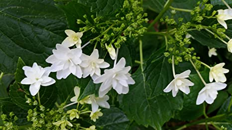 hanabi Hydrangea Liner Size Plant Shipped in Plastic Bag or 3 Pot. Liner Unusual White Blooms,Cascading Effect -Fuji Waterfall Hydrangea,