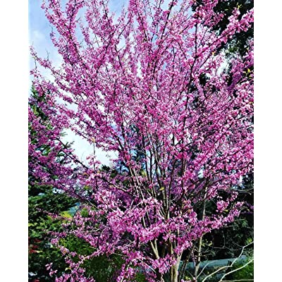 2 Live Plants American Eastern Redbud Trees Sapling Ornamental Purple Flowering : Garden & Outdoor