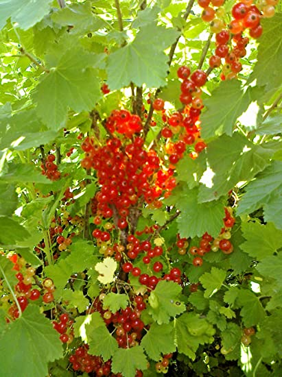 Red Lake Currant Seeds