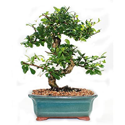 Indoorbonsaiandexotics Fukien Tea Bonsai Tree in 6inch Glazed Pot: Garden & Outdoor