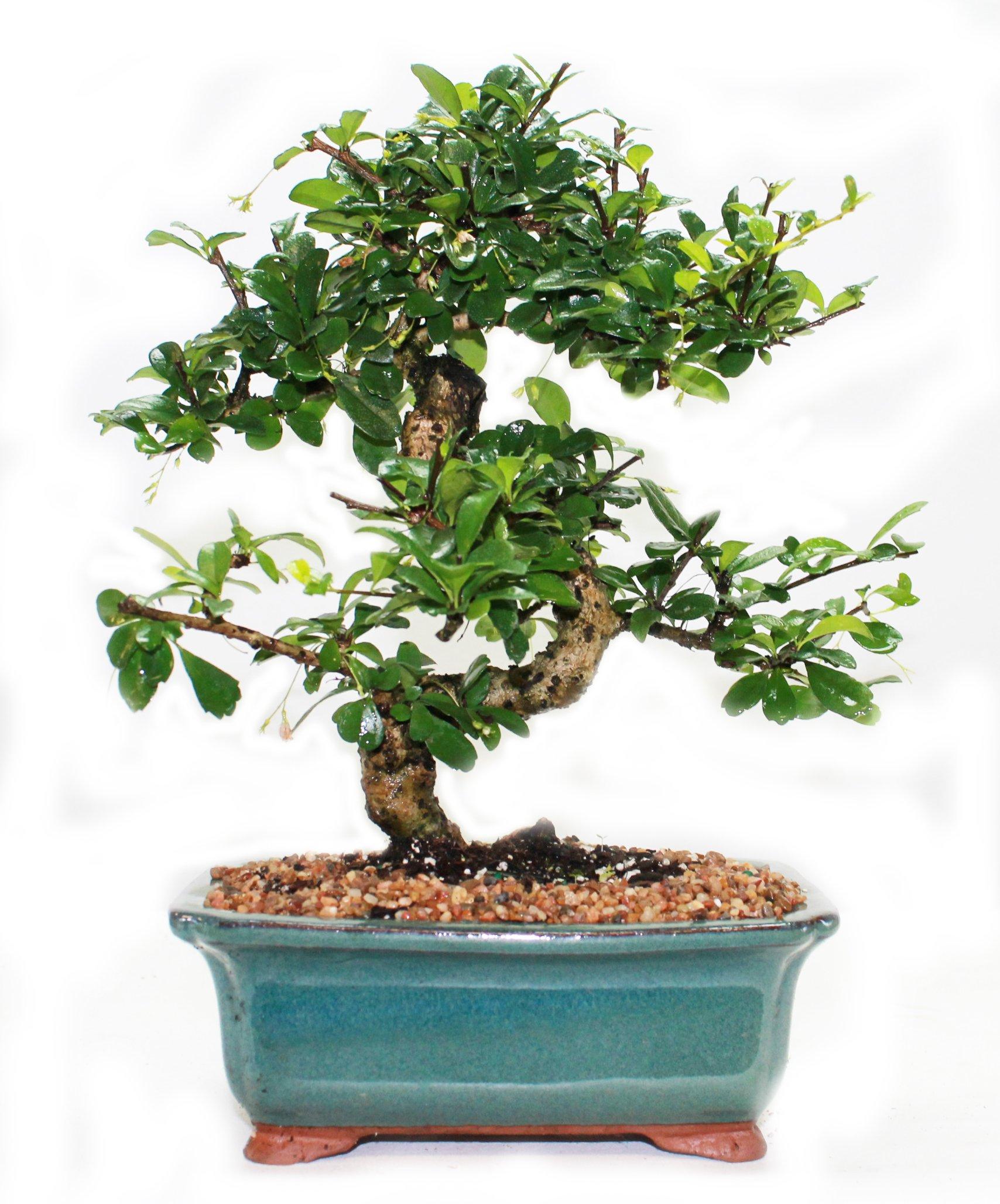 Indoorbonsaiandexotics Fukien Tea Bonsai Tree in 6inch Glazed Pot by indoorbonsaiandexotics