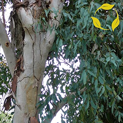 RED RIVER GUM Eucalyptus Camaldulensis - 100+ SEEDS : Garden & Outdoor