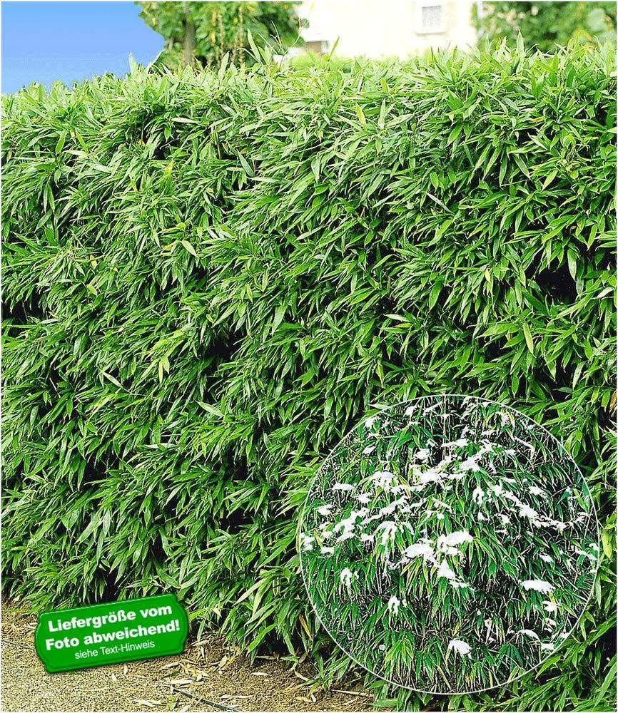 5 Pflanzen Fargesia murielae BALDUR-Garten Winterharte Bambus-Hecke
