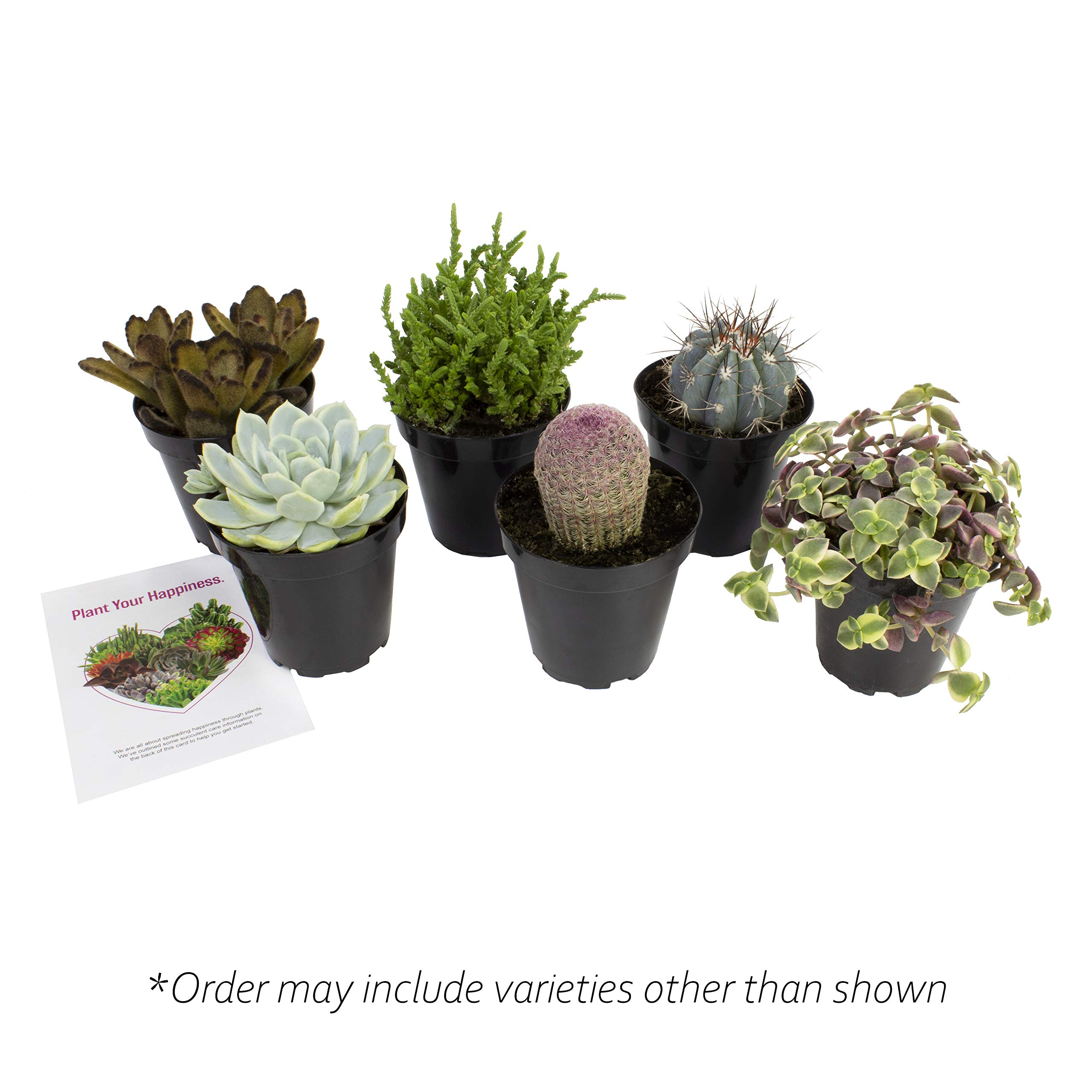 Altman Plants Assorted Live Succulents Fairy Garden Collection Colorful large plants for DIY terrariums and planters, 3.5'', 6 Pack