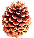 24 Unique 3 To 4 Inch Tall Oregon Grown Ponderosa Pine Cones In Bulk For Accents Decorations Ornaments