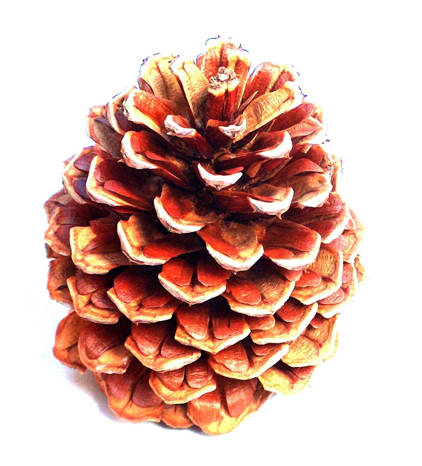 24 Pine Cones 3 To 4 Inch Tall : 2 to 3 Inch Wide : Grown On Pacific Ponderosa Pine Trees In Oregon
