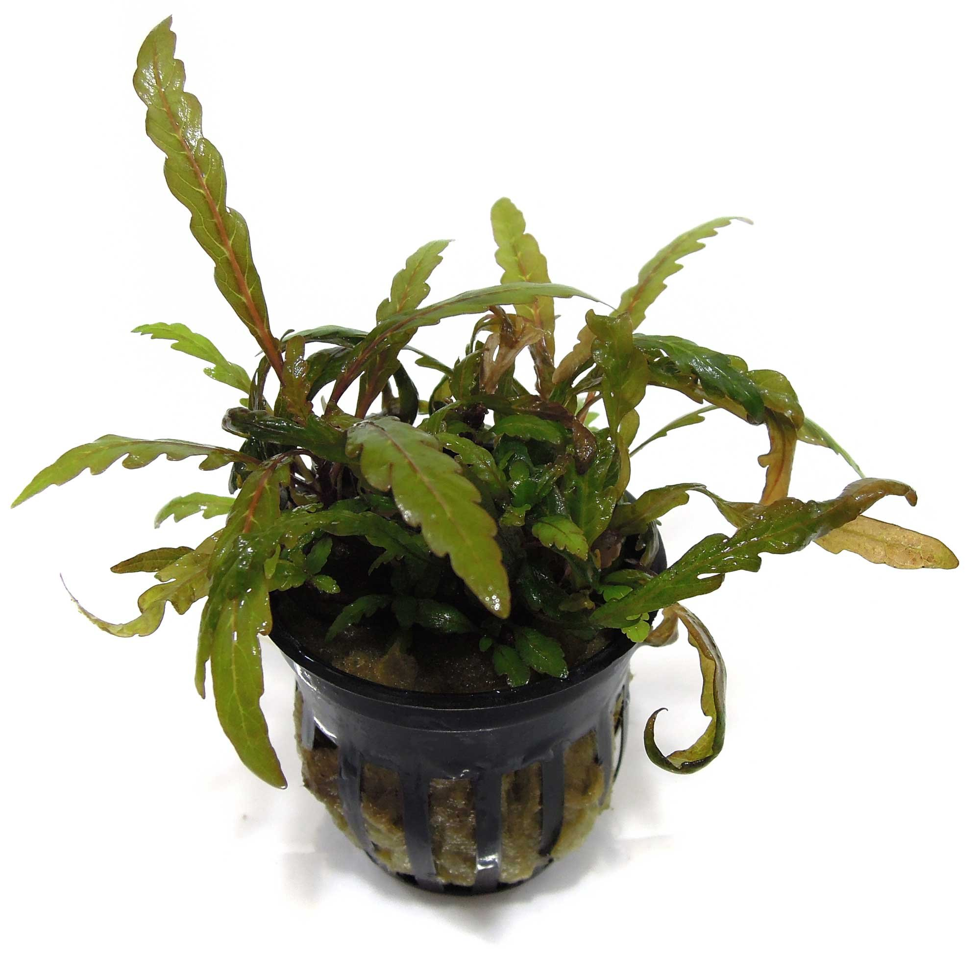 SubstrateSource Hygrophila pinnatifida Potted Live Aquarium Plant