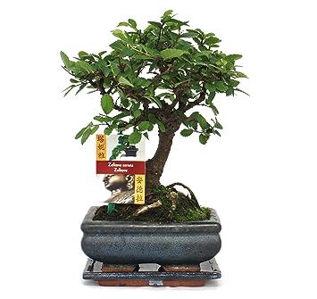 Bonsai chinesische Ulme - Ulmus parviflora - ca. 6 Jahre - Kugelform ...