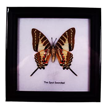 Amazon.com - Butterfly Framed the Spot Swordtail Black Frame ...