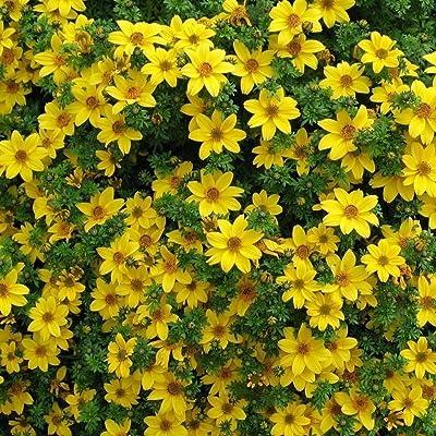 50 Seeds - Bur Marigold (Bidens Aurea) baskets containers or tumbling over Wall : Garden & Outdoor
