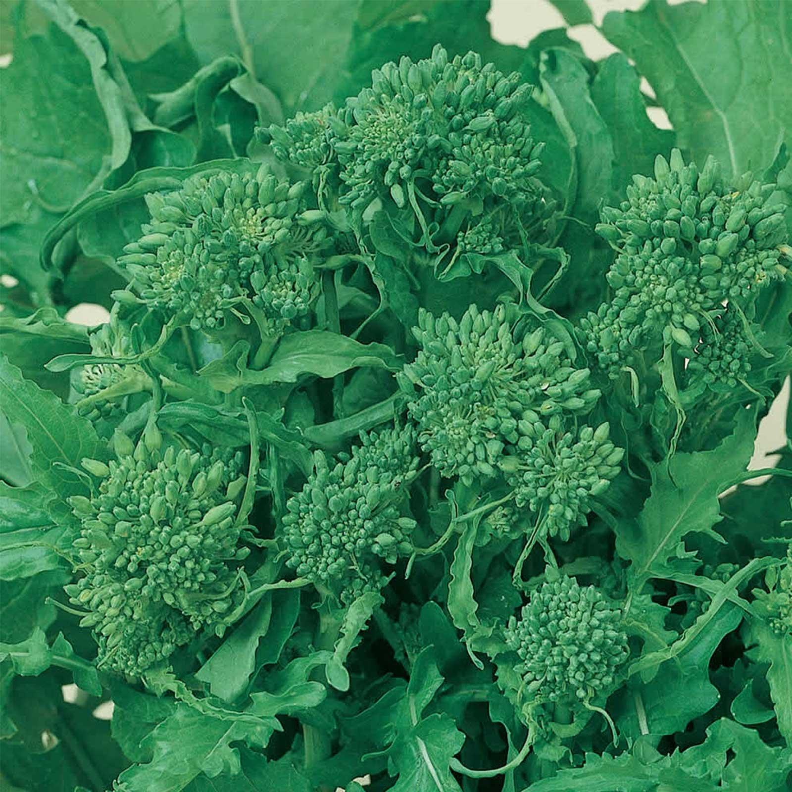 Broccoli Raab Seeds - Spring Rapini - 5 Lbs Bulk - Organic, Non-GMO, Heirloom - Vegetable Garden, Microgreens by Mountain Valley Seed Company