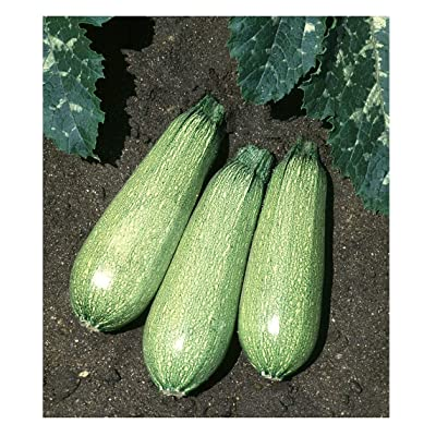 David's Garden Seeds Zucchini Tender Grey SL5310 (Green) 50 Non-GMO, Heirloom Seeds : Garden & Outdoor