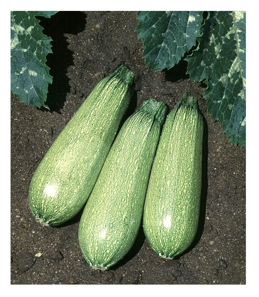 David's Garden Seeds Zucchini Tender Grey 5310 (Green) 50 Non-GMO, Heirloom  Seeds