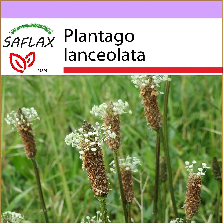 SAFLAX - Heilpflanzen - Spitzwegerich - 100 Samen - Plantago lanceolata