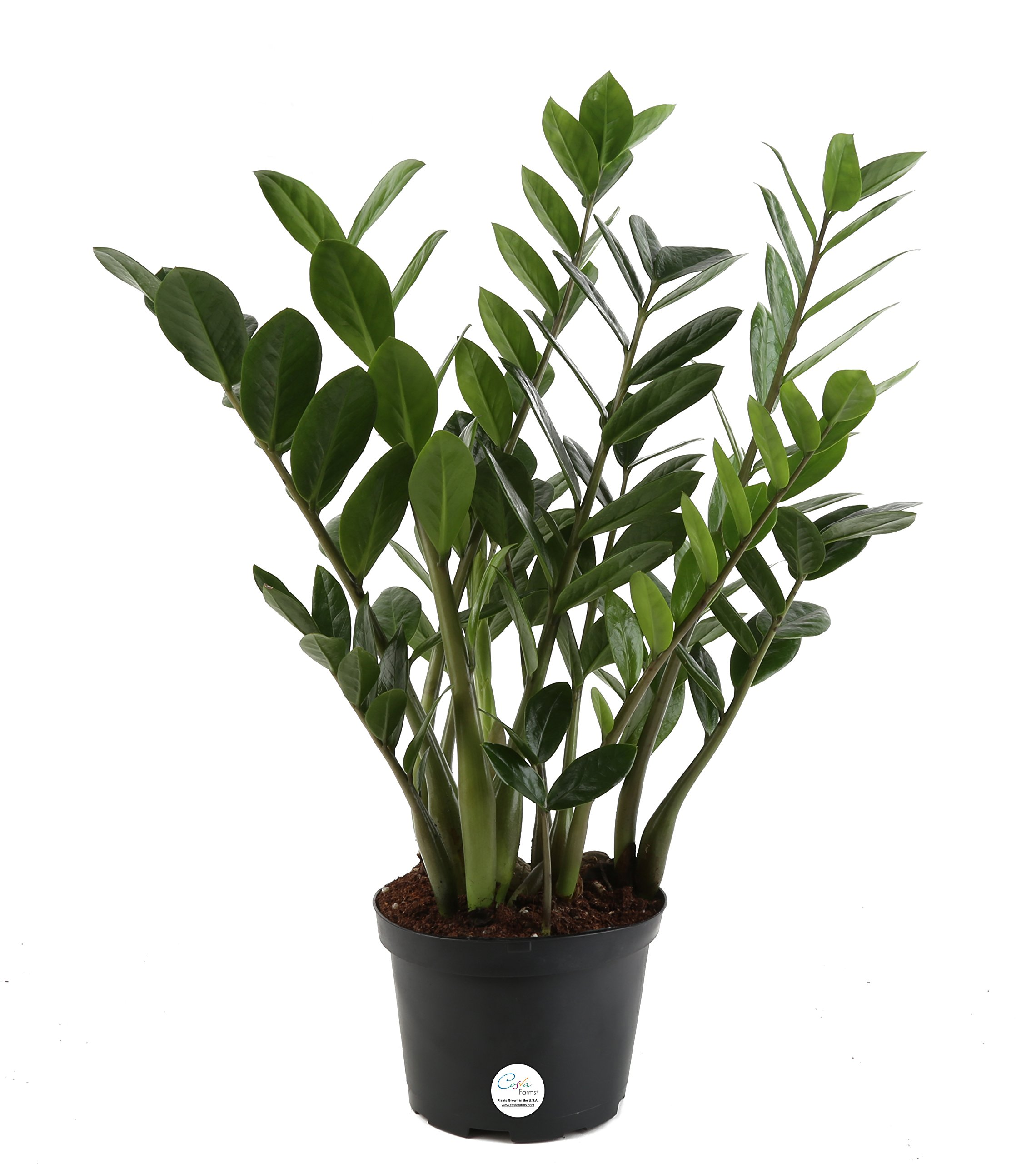 Costa Farms ZZ Live Indoor Tabletop Plant in 6-Inch Grower Pot