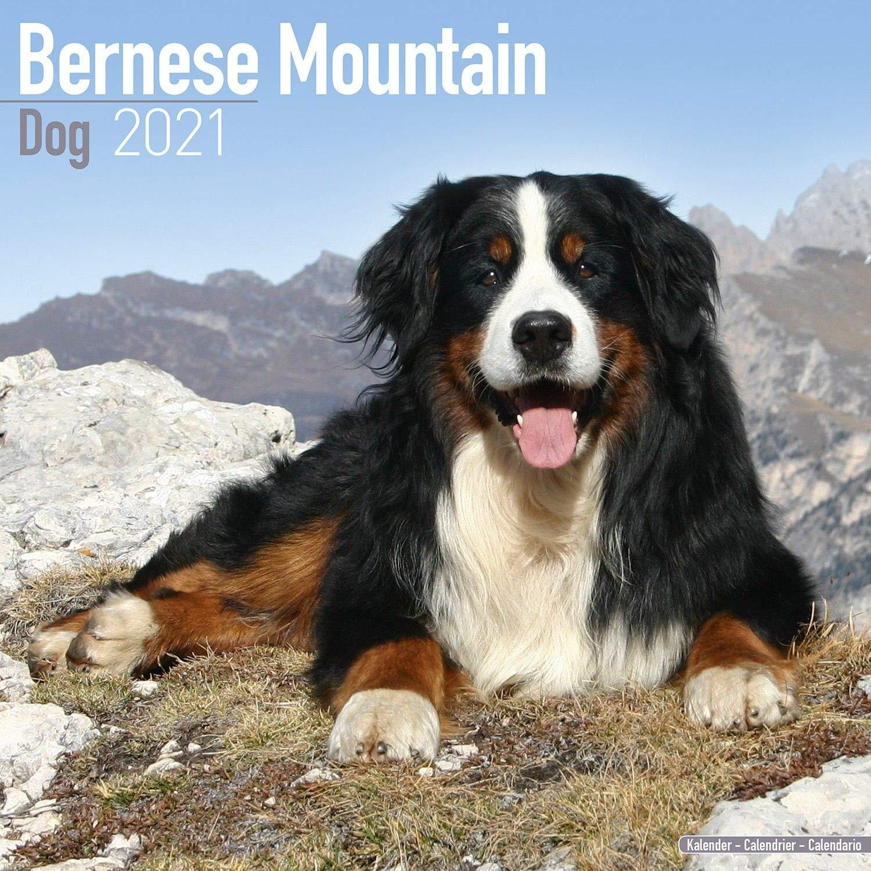 Bernese Mountain Dog Calendar   Dog Breed Calendars   2020   2021