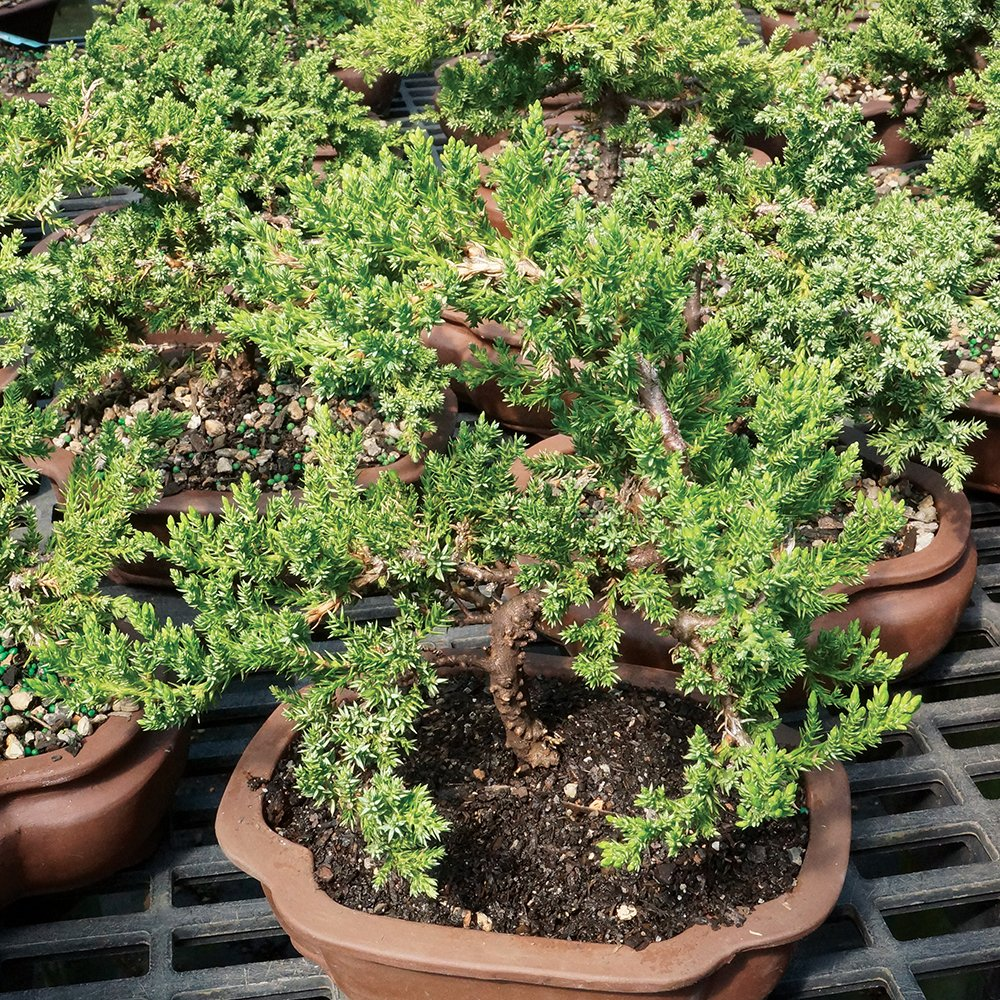 Brussel's Live Green Mound Juniper Outdoor Bonsai Tree - 5 Years Old; 6'' to 10'' Tall with Decorative by Brussel's Bonsai (Image #4)