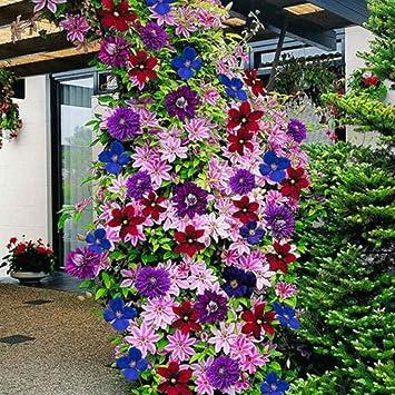 Schöne Kletterpflanzen topmountain clematis blumensamen 100 stück kletterpflanzen samen