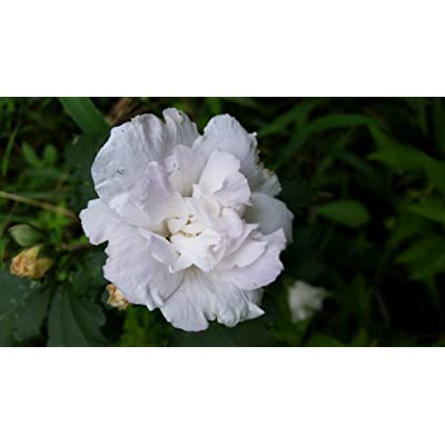 3 Gallon, Althea Jeanne De Arc, Gorgeous Double White Blooms(Rose of Sharon), Produces Lots of Double White Blooms from Summer Till Frost : Garden & Outdoor