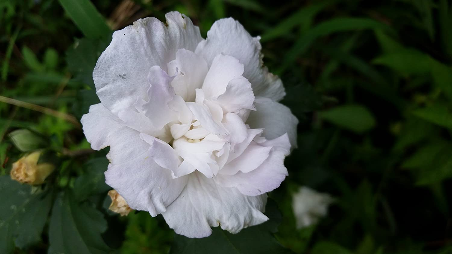 Pack Of 2 Plants Althea White Lots Of White Petals Fill Each Peony