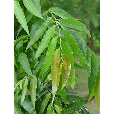 SVI 20 polyalthia longifolia, Ashoka Tree Seeds, Indian mast Tree, Variety pendula : Garden & Outdoor