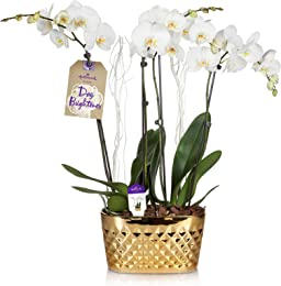 Hallmark Flowers Holiday Double Spike White Orchid Duo with White Decoration in 10-Inch Gold Diamond Ceramic Container