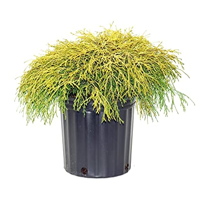 Gold Mop Weeping Threadleaf Cypress - Live Plant - 3 Gallon Pot : Garden & Outdoor