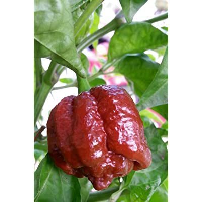 Chocolate Moruga Scorpion 10+ Seeds : Chile Pepper Plants : Garden & Outdoor