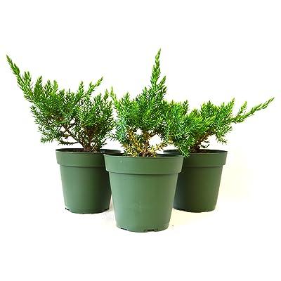 9Greenbox Juniper Procumbens Nana Bonsai Starter Plant, 3 Pound (Pack of 3) : Grocery & Gourmet Food