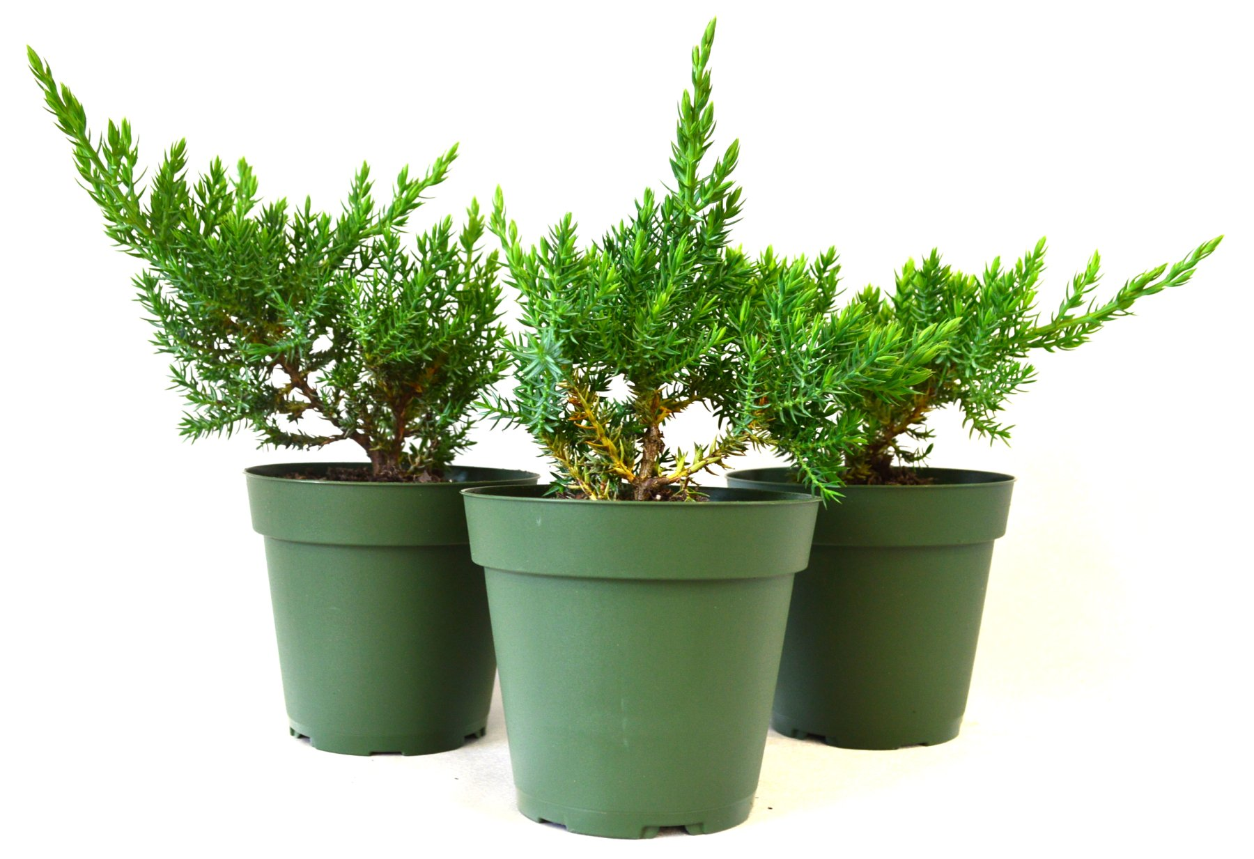 9Greenbox Juniper Procumbens Nana Bonsai Starter Plant,3 Pound (Pack of 3)