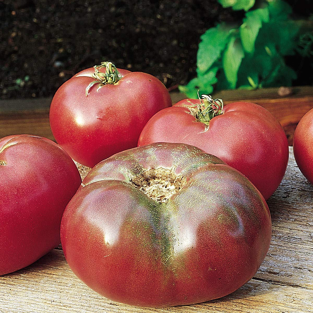 Burpee Cherokee Purple' Heirloom Large Slicing Tomato Rich Flavor, 3 Live Plants, 2 1/2'' Pot