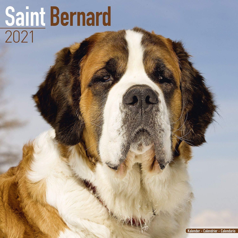 St. Bernard Calendar   Saint Bernard   2016   2021 Wall Calendars