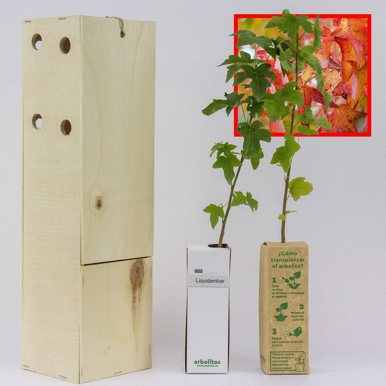 LIQUIDAMBAR. Arbolito de pequeño tamaño en caja de madera. Alveolo forestal. (2)