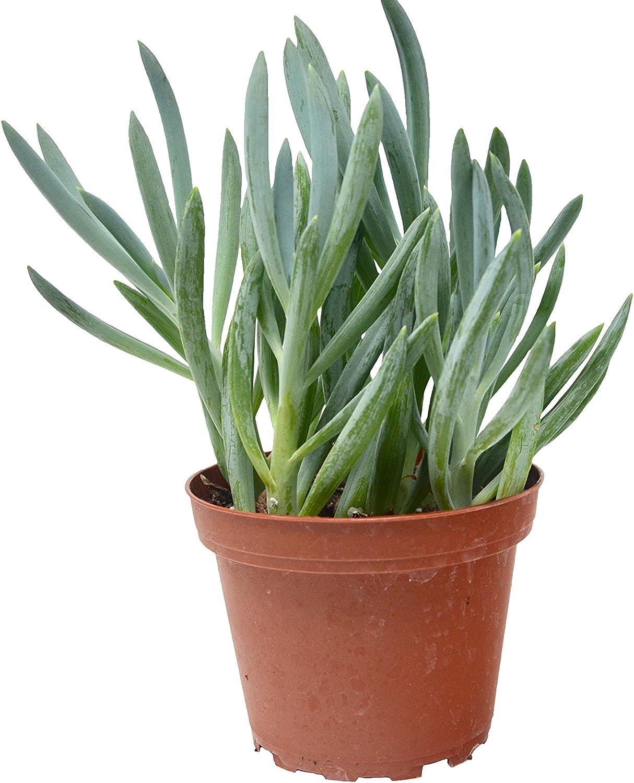 Amazon Com Blue Chalk Sticks Succulent 4 Pot Live Home And