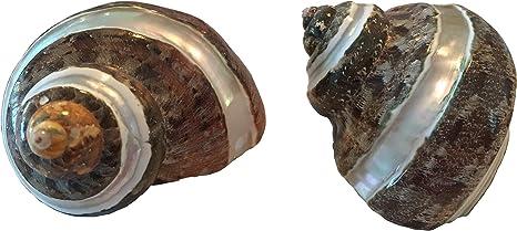 2 Pcs Polished Petholatus Jade Turbo Sea Shell Hermit Crab 2-2 1//2