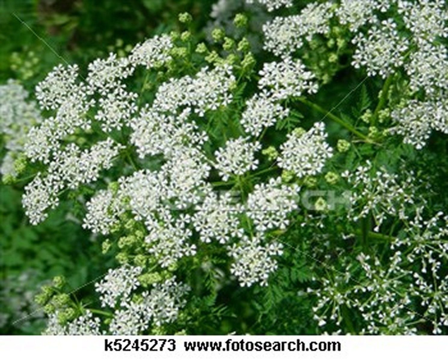 Queen Anne's Lace- 500 Seeds