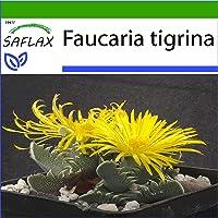 SAFLAX - Boca de tigre - 40 semillas - Con sustrato estéril para cultivo - Faucaria tigrina